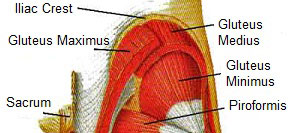 gluteal muscles psoas and piriformis
